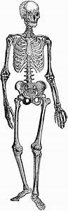 Human Skeleton | ClipArt ETC