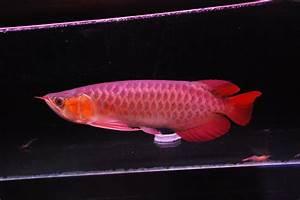 Super red Arowana fish on sale