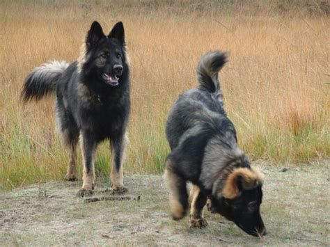 Filetwo Old  Ee  German Ee   Shepherd Dogs Jpg Wikimedia Commons