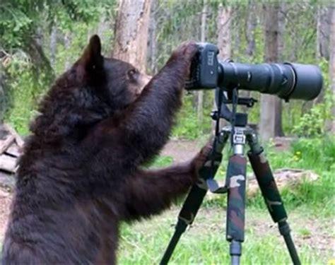 black bear takes  nikon dslr  wildlife