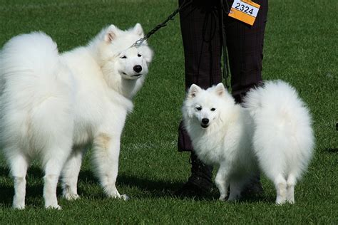 best 25 japanese spitz ideas on japanese spitz puppy american eskimo puppy and
