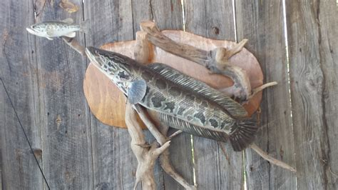 maryland snakehead fishing toothy comments