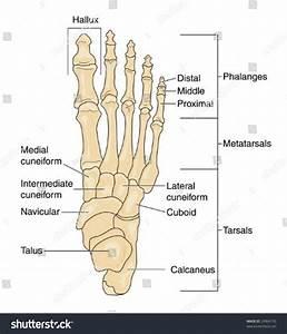 Foot Diagram Labeled Stock Vector Foot Bones Labeled