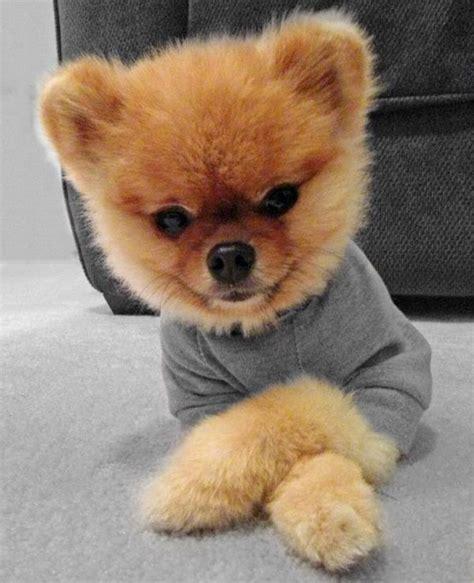 Jiff Pom Teddy Bear Pomeranian