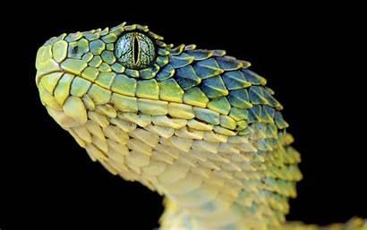 Reptile Snake Viper Lizard Reptiles Animals Scales