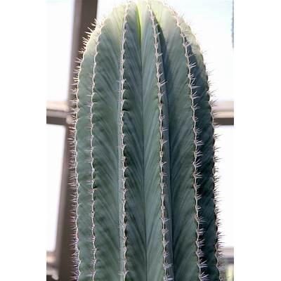 File:Pachycereus pringlei pm.jpg