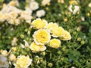 Bodendecker Gelb Blühend : bodendeckerrose 39 yellow fairy 39 rosa 39 yellow fairy 39 baumschule horstmann ~ Frokenaadalensverden.com Haus und Dekorationen