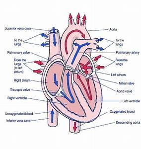 Blood Pathway Of Heart Anatomy