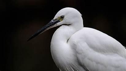 Bird Heron Egret 1080p Background Fhd Hdtv