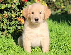 Golden Labrador (Goldador) Puppies For Sale | Puppy ...