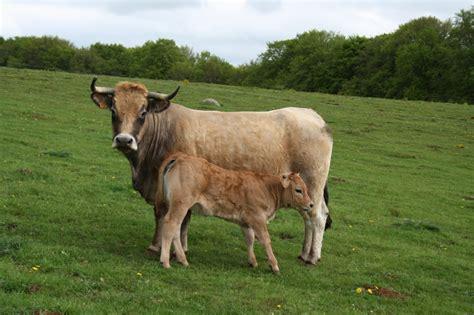chambre d hote cantal vache et veau aubrac la chambre de roche