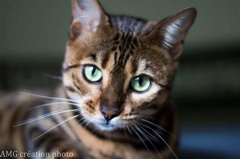 Cats Breeders by Bengal Cat Breeders Rescues Directory