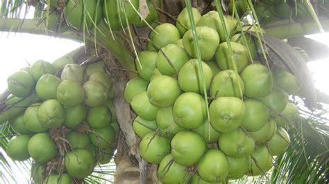 curso producao de coco anao  consumo de agua cursos