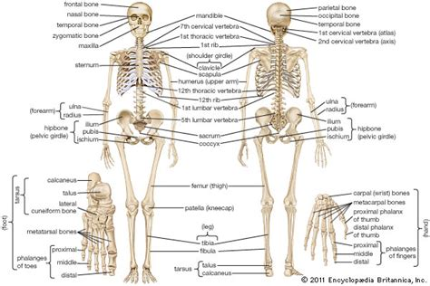 human skeletal system anatomy britannicacom