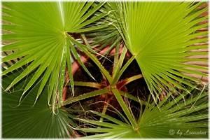 Palmen Für Draußen : palmen und palmen hnliche pflanzen meine lteste pflanze ~ Michelbontemps.com Haus und Dekorationen