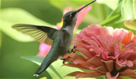 hummingbird species  hummingbird migration sighting