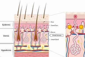Skin Cross Section Diagram Showing Microcirculation And