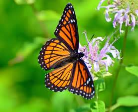butterfly flower the harmful effect of herbicides on the habitat of monarch