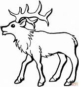 Coloring Elk Printable Bull Popular sketch template