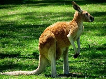Kangaroo Wallpapers Animal Kangaroos Animals Names Australia
