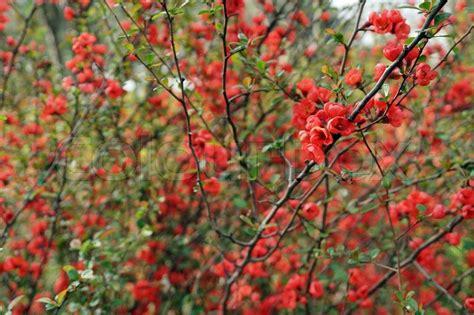 strauch mit roten blüten rote bl 252 ten an einem strauch stock foto colourbox