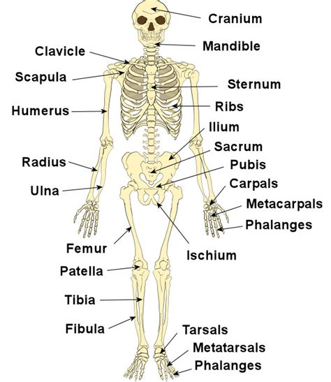 Basic Bone Diagram by How Many Bones Are There In The Human How Many Are