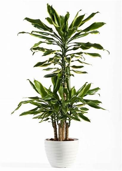 Plant Dracaena Plants Indoor Trees Fragrans Fresh
