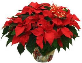 poinsettia plant colonial flower shop ronkonkoma ny