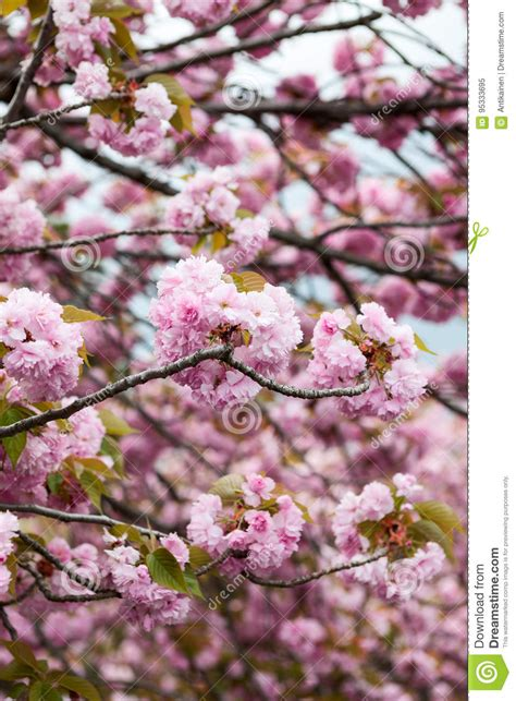 Large Pink Flowers Of Cherry Blossom Tree Close Up View