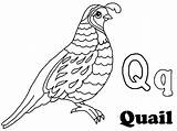 Quail Coloring Clipart Outline Alphabet Preschool Pages California Drawing Clip Template Kindergarten Animal Getdrawings Sketch Webstockreview sketch template