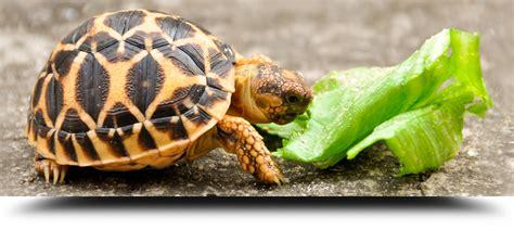 tartaruga terrestre alimentazione tartarughe terrestri