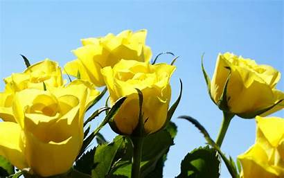 Roses Yellow Rose Backgrounds Wallpapers Dell Amicizia