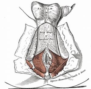 Perineal raphe - Wikipedia