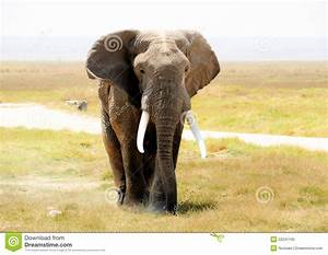 African Elephant In The Wild Royalty Free Stock Photo ...