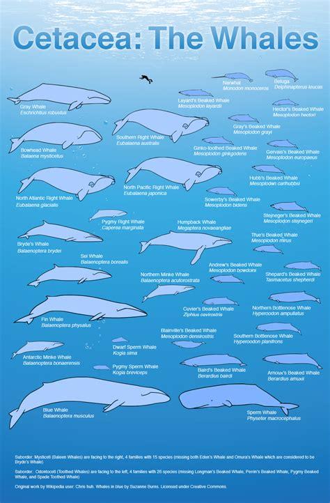 ocean giants  whales  size comparison nature pbs