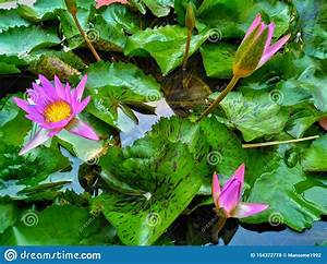 Water Lily With Leaves On The Water  Stock Photo