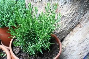 Weihrauch Pflanze Winterhart : rosmarin macht nicht nur auf dem sonntagsbraten eine gute ~ Lizthompson.info Haus und Dekorationen
