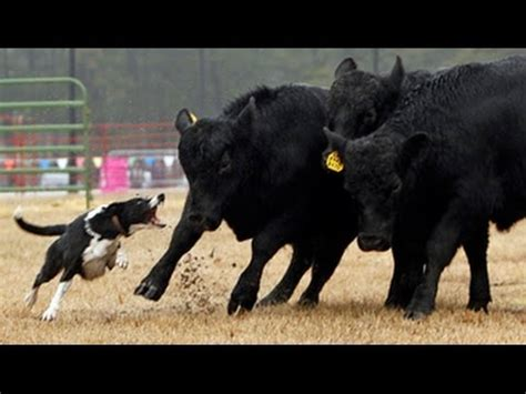 herding dogs   southern farm show youtube