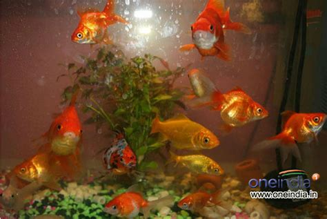 types  goldfish   aquarium  pics