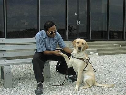 Guide Dog Dogs Labrador Hubbell Labradors Concerned