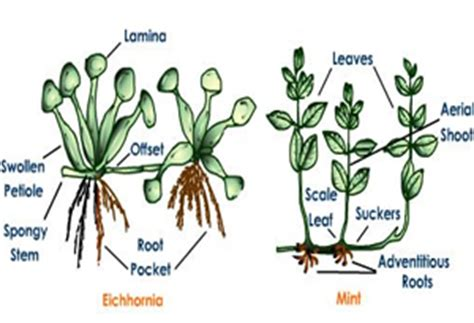 Names Of Modified Roots by Notes On Modification Of Different Parts Of Plant Grade