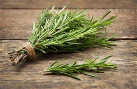 romarin une herbe aromatique prometteuse vertus et