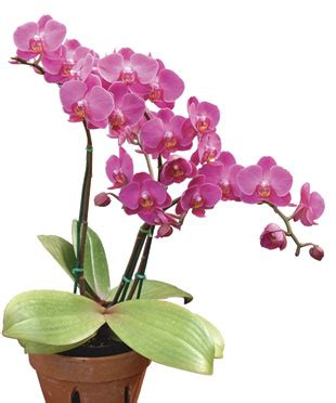 how to get an orchid plant to bloom again how to take care of orchid plants