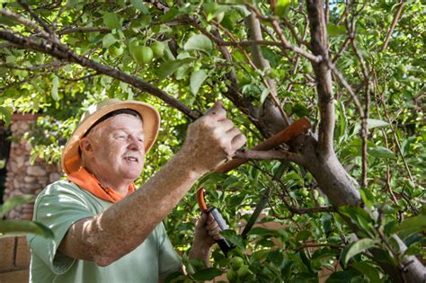 einen alten apfelbaum schneiden 187 so machen sie s richtig - Alten Apfelbaum Schneiden