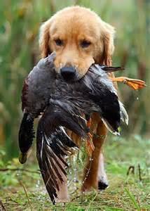 Golden Retriever Duck Hunting Dog