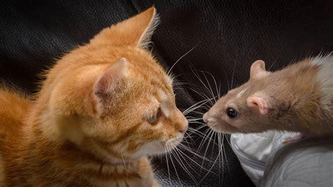 fonds decran chat avec la souris face  face