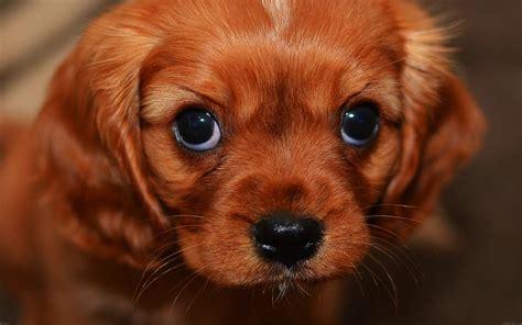 wallpaper  desktop laptop mg cute puppy wallpaper