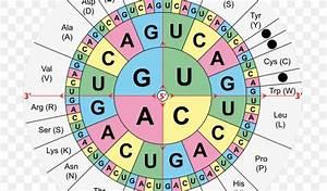 Translation Genetic Code Rna Amino Acid Dna Codon Table