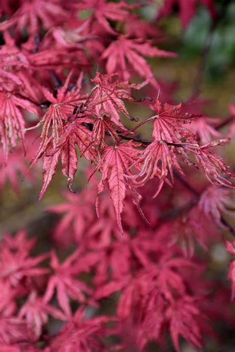amagi shigure japanese maple acer palmatum amagi shigure