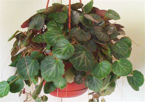 begonia care indoors how to grow strawberry begonias care houseplant 411 how to identify and care for houseplants